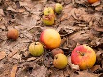 Naturliga äpplen Royaltyfria Bilder