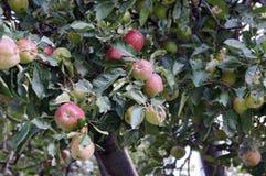 Naturliga äpplen och lövverk som hemsökas med äpplet, avmaskar, i den naturliga miljön Arkivfoton