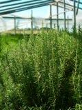 Naturliga örtar i ett växthus Royaltyfria Bilder