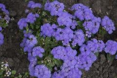 Naturliga blommor stänger sig upp på gatorna av - nya blommor, trädgårds- garnering Arkivfoton
