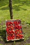 naturliga jordgubbar Arkivbilder