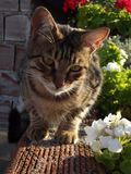 Naturliga Tabby Cat och pelargonblommor royaltyfria foton