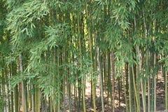 naturliga trees för bakgrundsbambuclose upp Arkivbild