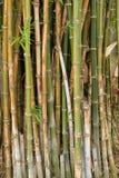 naturliga trees för bakgrundsbambuclose upp Fotografering för Bildbyråer