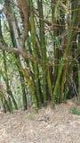 naturliga trees för bakgrundsbambuclose upp Royaltyfri Fotografi