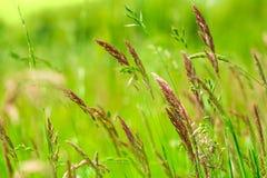Naturliga växande brokiga sweetgrass för gräsfält, hierochloe slapp fokus mot bakgrund field bl?a oklarheter f?r gr?n vitt wispy  royaltyfri foto