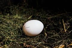 Naturligt ägg i höet Arkivfoto