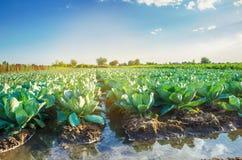 Naturligt bevattna av jordbruks- skördar, bevattning Kålkolonier växer i fältet grönsakrader Lantbrukjordbruk royaltyfria foton