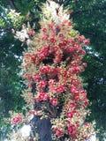 Naturligt Cannonballträd Royaltyfria Bilder