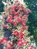 Naturligt Cannonballträd Royaltyfri Fotografi