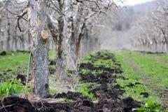 Naturligt gödsla en äpplefruktträdgård i vår royaltyfria bilder