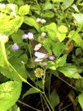 Naturligt grönt bakgrunds- och kopieringsutrymme En brun fjäril är su arkivbild