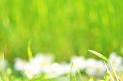 Naturligt grönt gräs med suddig bakgrund för vita blommor Royaltyfri Bild
