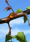 Naturligt gummi på en filial av aprikosträdet arkivbild