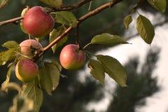Naturligt landskap - röda äpplen på filialen arkivfoton