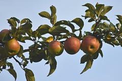 Naturligt landskap - röda äpplen på filialen royaltyfri fotografi