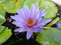 Naturligt lilavatten Lily Flower av Sri Lanka Royaltyfri Fotografi