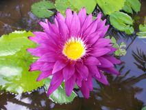 Naturligt lite rosa färgvatten Lily Flower av Sri Lanka royaltyfri fotografi