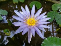 Naturligt mörkt lilavatten Lily Flower av Sri Lanka Royaltyfria Foton