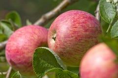 Naturligt nytt äpple som växer på trädet Royaltyfri Fotografi