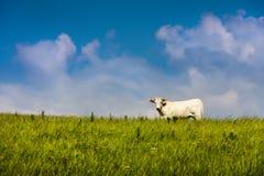 Naturligt organiskt gräs Fed Free Range Cow och blå himmel Arkivfoton