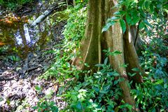 Naturligt pterocarpusskogträsk i Puerto Rico royaltyfria foton