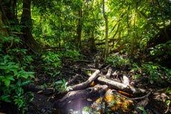 Naturligt pterocarpusskogträsk i Puerto Rico arkivfoto