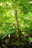 Naturligt pterocarpusskogträsk i Puerto Rico arkivfoton