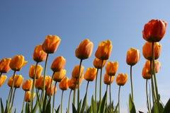 naturligt Ren morgondagg p? f?rgrika tulpankronblad royaltyfri foto