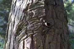 Naturligt snida för trädskäll Fotografering för Bildbyråer