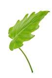 Naturligt stort blad för djungelregnskoggräsplan, isolerad philodendron Arkivbilder
