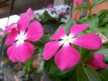 Naturljus - rosa färgfärgBeautful blomma av Sri Lanka Arkivfoto