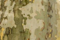 Naturmålning - stam av platan Arkivfoto