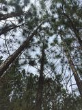 Naturperspektivenkiefernholz Stockbild
