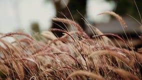 Naturrasenblume während der Windschlag stock video footage