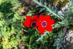 Naturreservat Alonei Abba am Frühling Stockfotografie