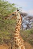 Naturs kurvor och konturer - giraff Arkivfoton