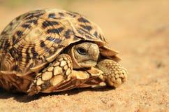 Naturs modeller - sköldpaddan går Royaltyfria Bilder