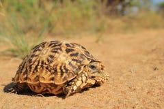 Naturs modeller - sköldpaddaShine Royaltyfri Foto