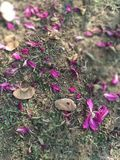 Naturs, różani płatki, wzrastał kwiaty, zdjęcie royalty free