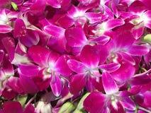 Naturschönheitsblume in Bangkok Lizenzfreies Stockbild