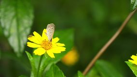 Naturschmetterling und -fliege stehen auf einer gelben Gänseblümchenblume und fliegen weg in botanischen Garten Taiwans Taipeh stock footage