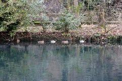 Natursikten i floden med änder av Vizillen Royaltyfri Bild