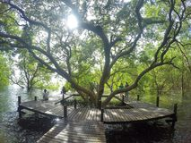 Naturslingor, mangroveskog Arkivfoto