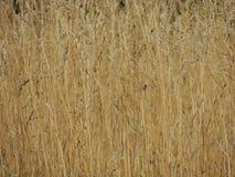 Naturszenengelbgras-Sommerhintergrund Stockbild
