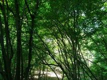 Naturträdskog arkivbild