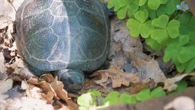 Naturväxt av släktet Trifolium och sköldpadda arkivfilmer