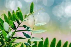 Naturväxt på blåttsuddighet med bakgrund för abstrakt begrepp för bokehsolljus Kopiera utrymme av den utomhus- den sommarsemester Arkivbild