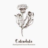 Naturvektor Calendulablumenskizzenhandzeichnungsillustration Lizenzfreies Stockfoto