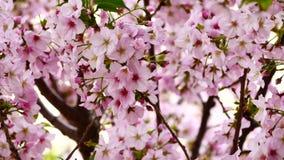 Naturvideoabschluß herauf Japan-Kirschblüte auf dem Kirschbaum sind- Jahreszeit der vollen Blüte des Winds im Frühjahr, 4K oder U stock video footage